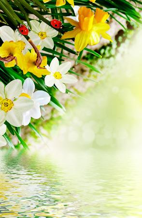 Summer landscape. flowers daffodils photo