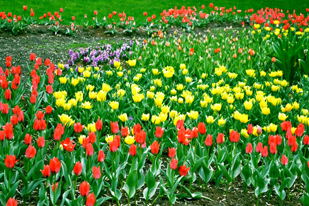 vernal: red and yellow tulips