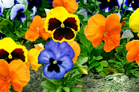 pansy flowers photo