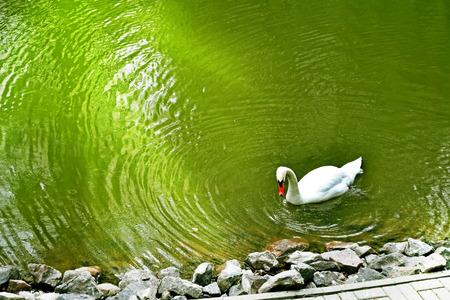 White swan on a pond photo