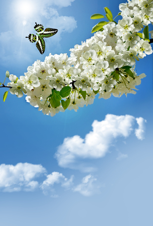 vernal: Flowering branch of pear on background of blue sky