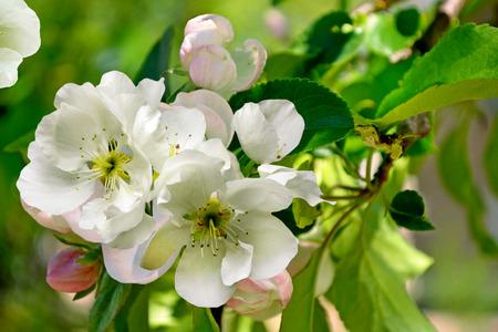 vernal: Flowering branch of pear