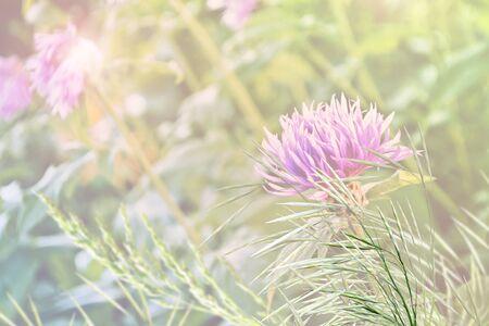 fiordaliso: fiore fiordaliso