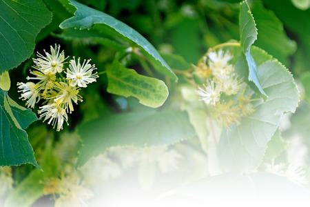 linden blossom: Summer landscape. Background of linden flowers