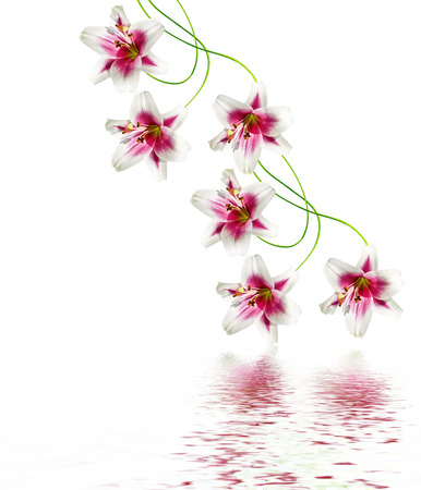RED WALLPAPER: lily flowers isolated on white background