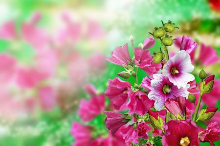 mallow: mallow flowers
