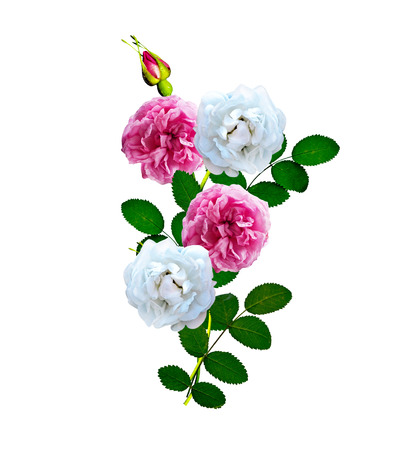 the flower isolated: Dog rose (Rosa canina) flowers on a white background