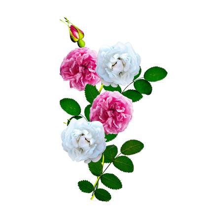 rose stem: Dog rose (Rosa canina) flowers on a white background