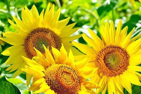 girasol: Campo de girasol hermoso en verano
