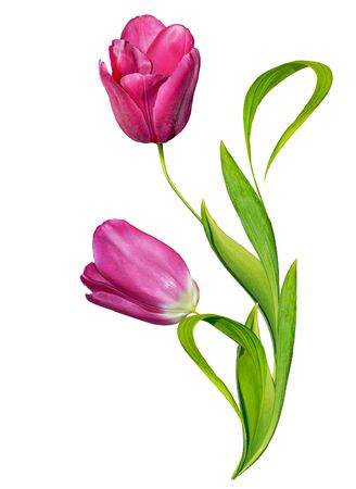 tulip: spring flowers tulips isolated on white background