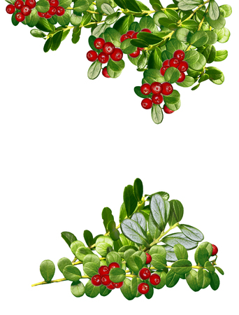 cowberry: cowberry isolated on white background