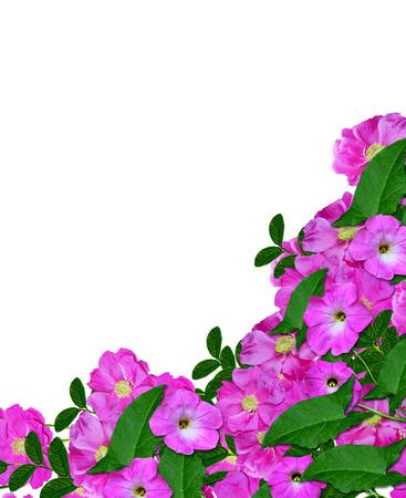 petunias: Dog rose (Rosa canina) flowers on a white background
