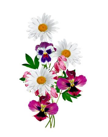 p�querette: marguerites �t� fleur blanche isol� sur fond blanc