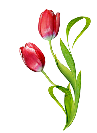 tulips: spring flowers tulips isolated on white background