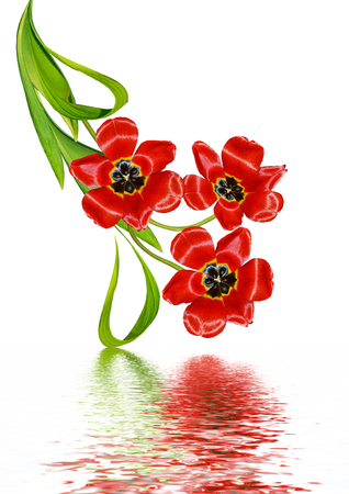 tulipan: wiosenne kwiaty tulipany na białym tle