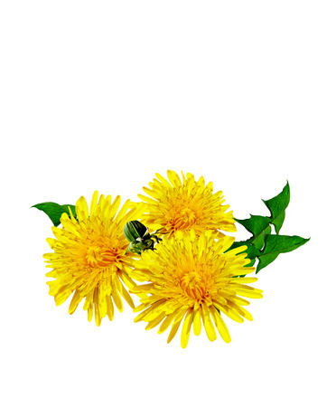 dandelion: dandelion flowers isolated on white background