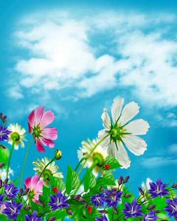 flowers sun: daisy flowers on blue sky background Stock Photo