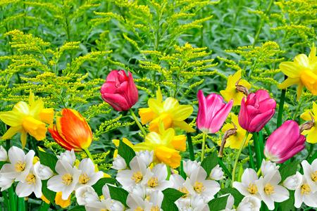 campo de flores: Flores de primavera narcisos y tulipanes
