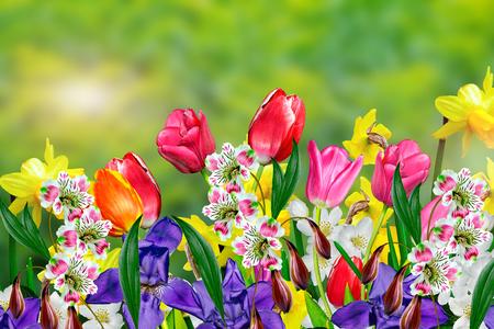 primavera: Flores de primavera narcisos y tulipanes