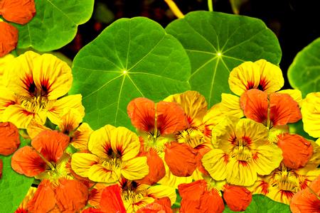 nasturtium flowers Standard-Bild