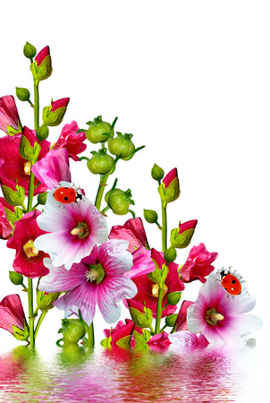 path to romance: mallow flowers isolated on white background