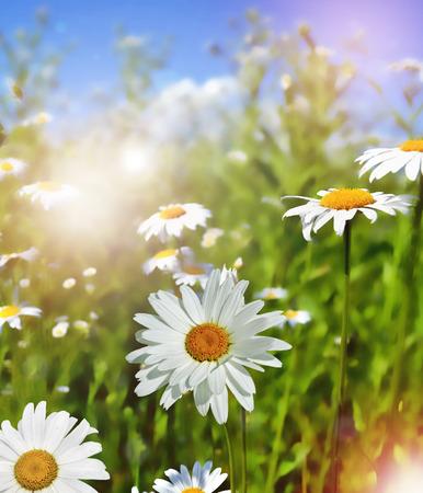 Zomer landschap. Wilde daisy bloemen op blauwe hemel achtergrond.