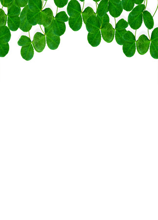leafed: leaf clover on white background Stock Photo