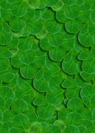 four leafed: green background of clover leaves