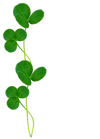 four leafed: leaf clover on white background Stock Photo