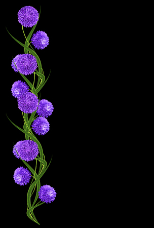 aster flowers: aster flowers isolated on a black background