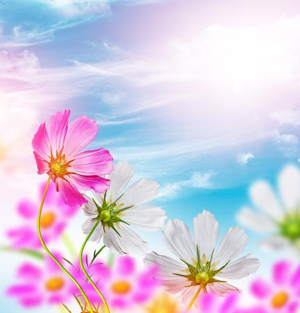 daisy flowers on blue sky background Zdjęcie Seryjne