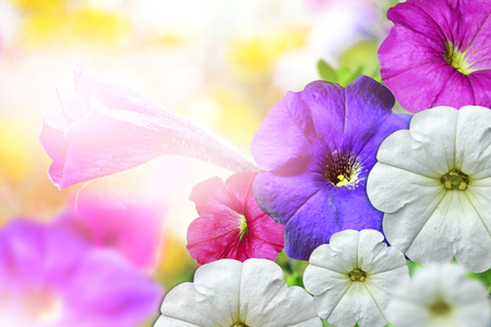 easter morning: Morning Glory flowers. Floral background