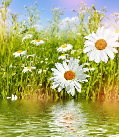 Wildflowers madeliefjes. Zomer landschap.