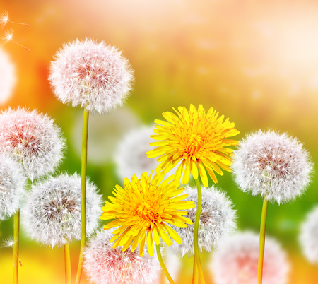 dandelion: Wildflowers dandelions. Spring flowers Stock Photo