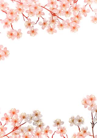 cerezos en flor: rama de flores de cerezo aislados en fondo blanco. Foto de archivo