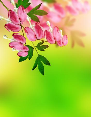 hemorragias: sangrado flor rosada del corazón