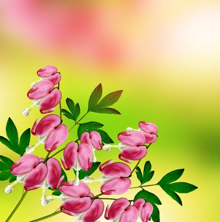 bleeding heart: pink bleeding heart flower