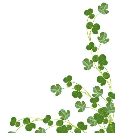 four leaf: leaf clover on white background. Green foliage