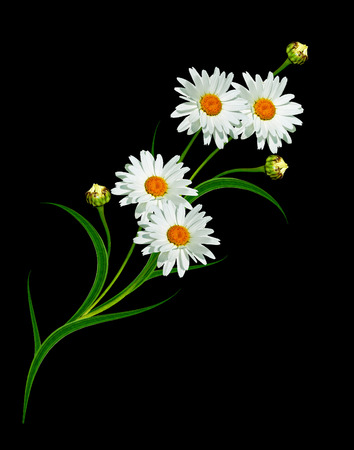 Daisy flower isolated on black background. White flowers