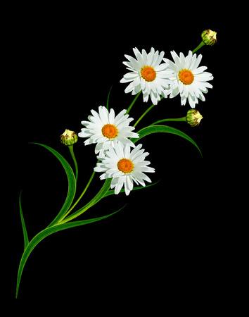 p�querette: Daisy fleur isol� sur fond noir. fleurs blanches Banque d'images