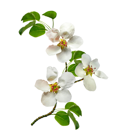 pera: Blanco flores de la pera ramificación aislada en el fondo blanco Foto de archivo