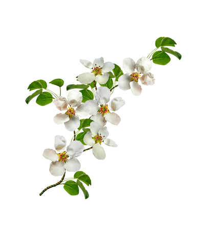 White pear flowers branch isolated on white background Фото со стока