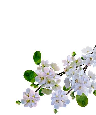 fleur de cerisier: Blanc fleurs de pommiers branche isolé sur fond blanc