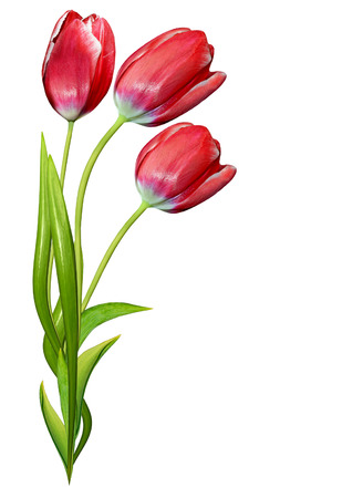 red tulips: spring flowers tulips isolated on white background. Red tulips