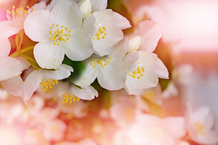 jasmine bush: White jasmine flower. The branch delicate spring flowers