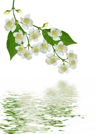 flower designs: branch of jasmine flowers isolated on white background. spring flowers