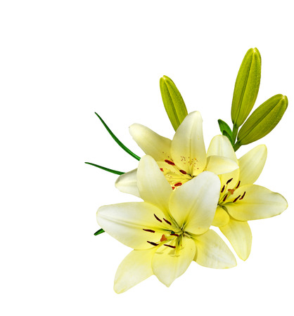 lilies: Flower lily isolated on white background. Delicate flower