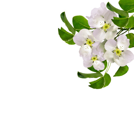 White apple flowers branch isolated on white background. delicate flower Archivio Fotografico