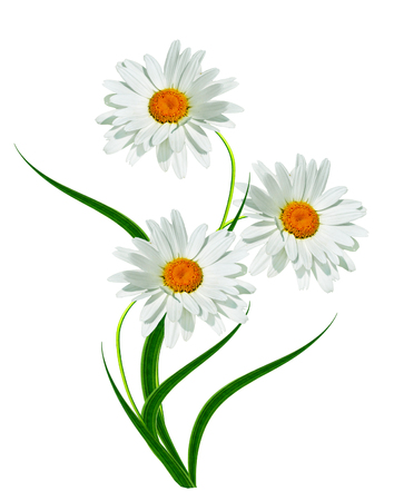 margaritas verano flor blanca aislada sobre fondo blanco