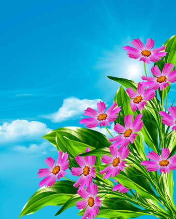 pink wallpaper: Cosmos flowers on a background of blue sky with clouds. Pink flowers.